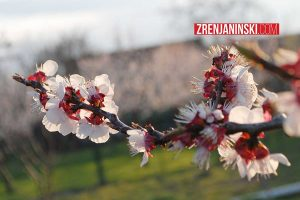 prolece-cvet-drvo