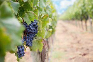 grožđe vinogradi