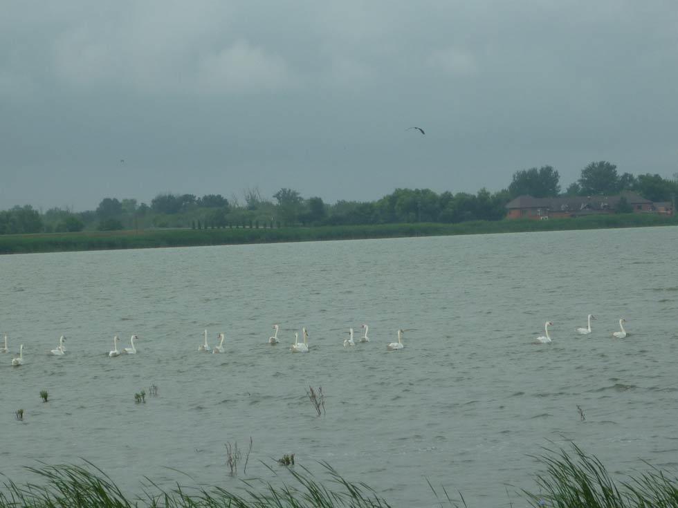 Beli labudovi
