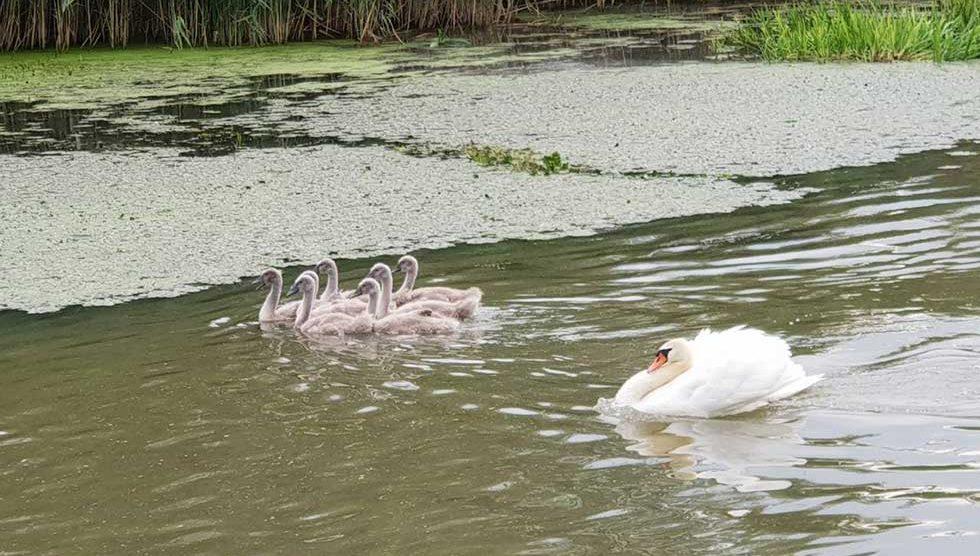 porodica labudova
