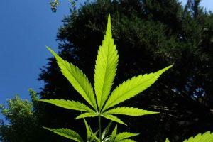 marihuana indijska konoplja