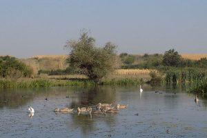 Parovi labudova na Tamišu