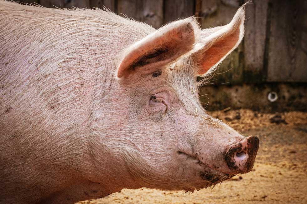 afrička kuga svinja