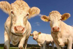 čuvari goveda