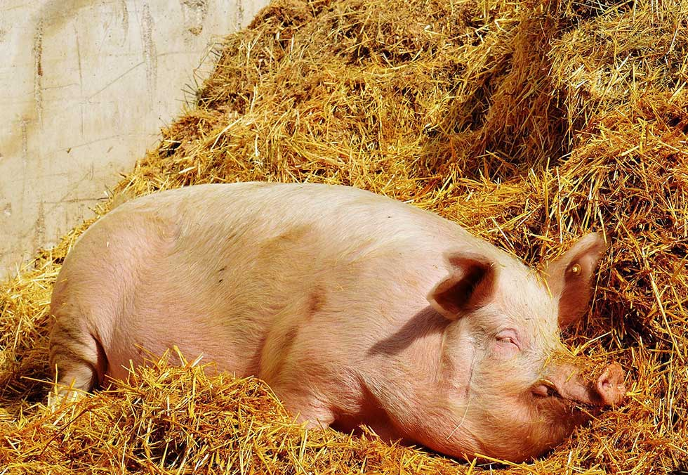 pomor svinja