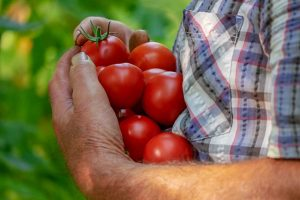 dani paradajza