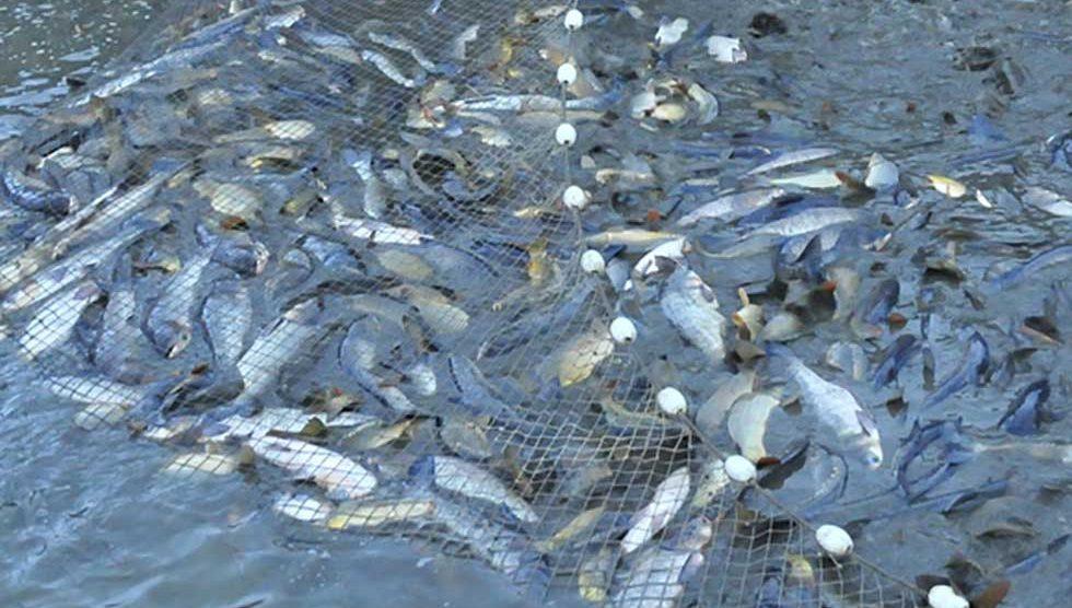 slatkovodna riba