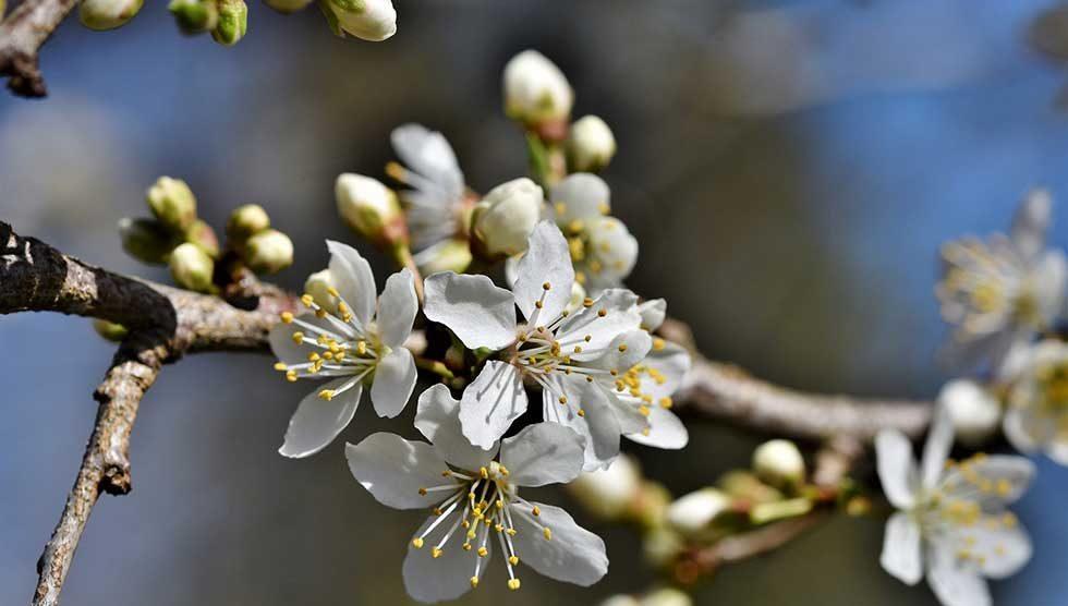 cvetanje voća