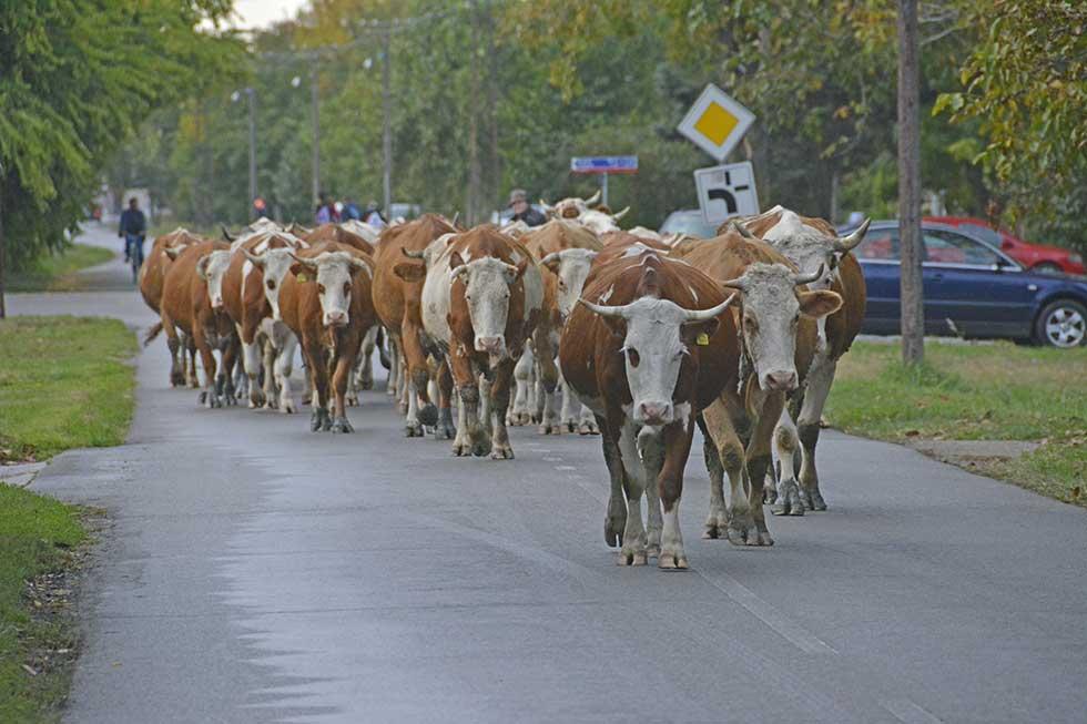 teranje krava