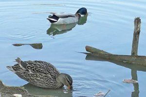 patke u begeju