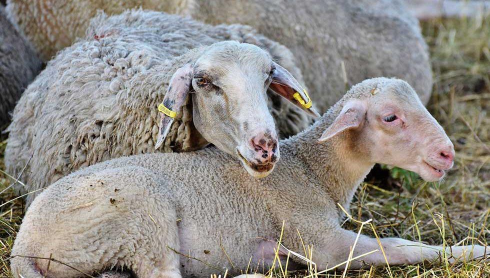 dani ovčarstva