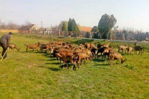 rajko varadinac upozorava da kozarstvo u srbiji može da nestane