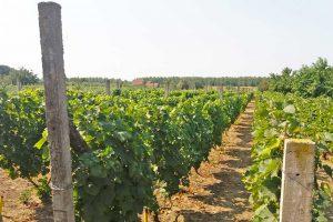 taraški vinogradi