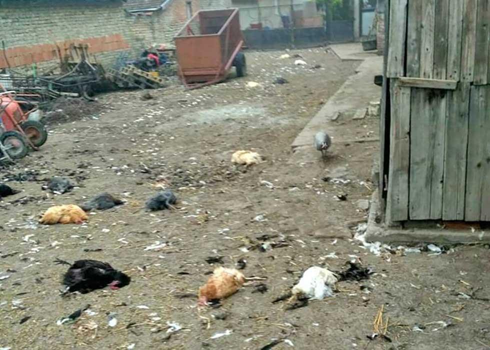 ubijena živina u domaćinstvu petković