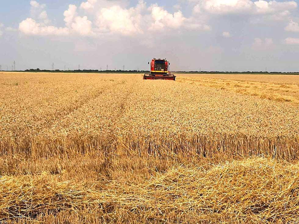 žetva pšenice