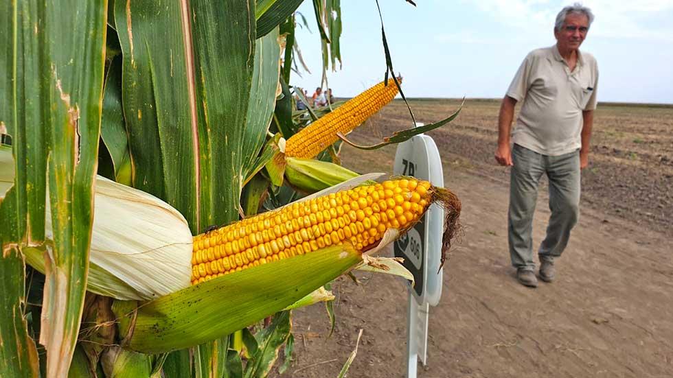 berba kukuruza