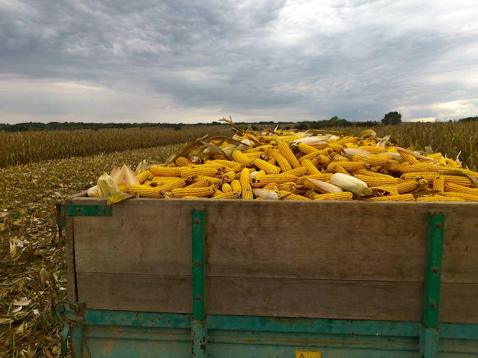 poljočuvarska služba grada zrenjanina obrala kukuruz sa uzurpiranog zemljišta