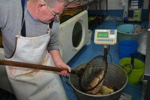 proizvodnja ribe u ribarskom gazdinstvu ečka