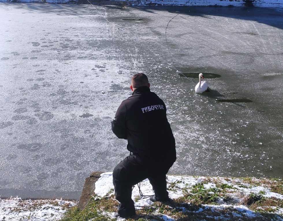 spasavanje labuda