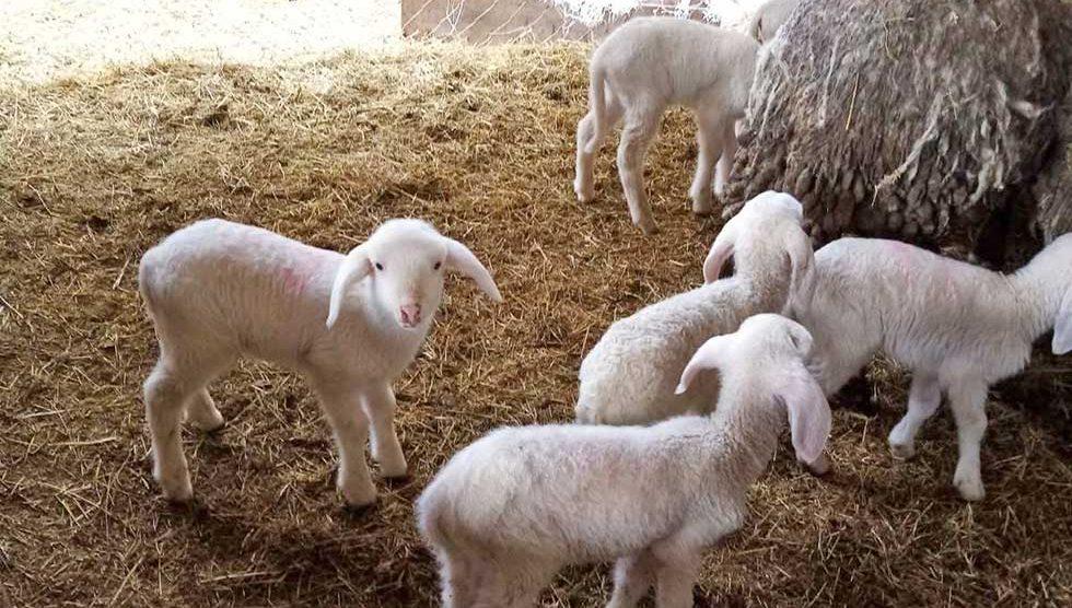 mileta benić drži ovce rase bergamo