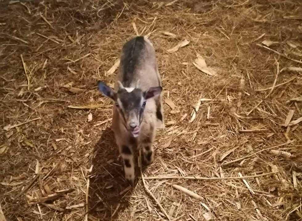 braća nikola i sava radonić uzgajaju koze