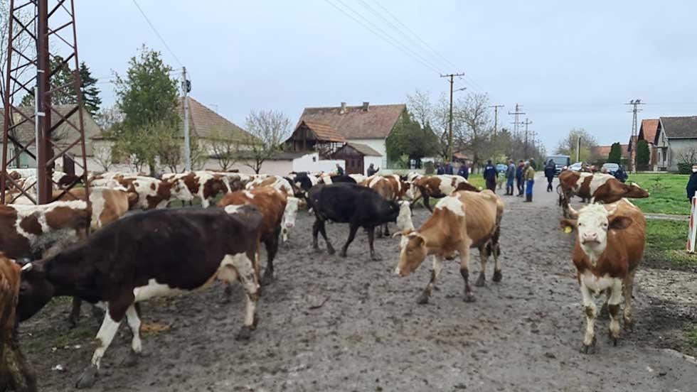 krave u elemiru