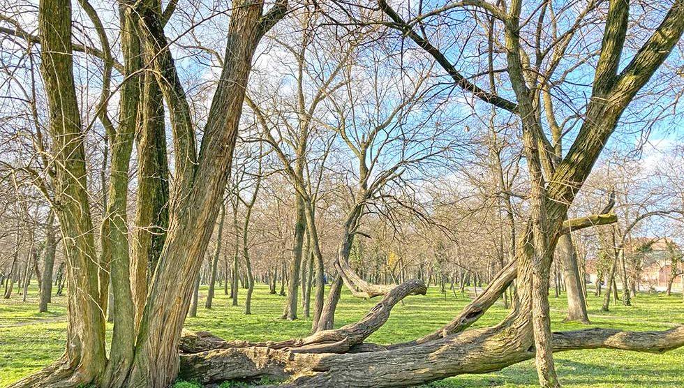 krivo drvo