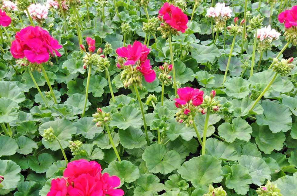 proizvodnja cveća