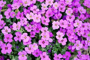 cvetna pijaca