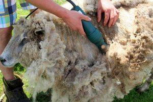 šišanje ovaca