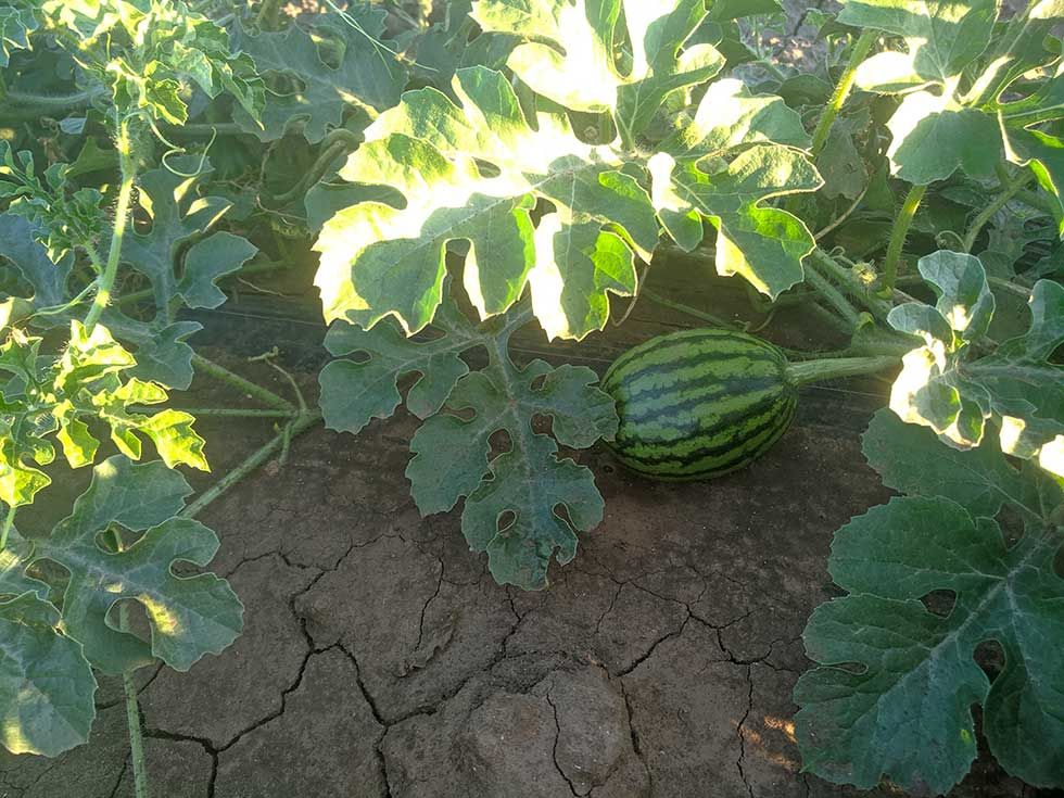 domaće lubenice