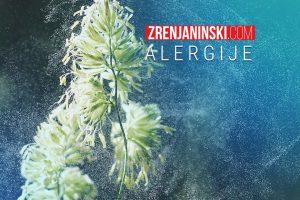 visoka koncentracija polena ambrozije